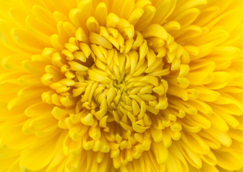 Cadeau pour tous, fleurs significations, Couleur jaune