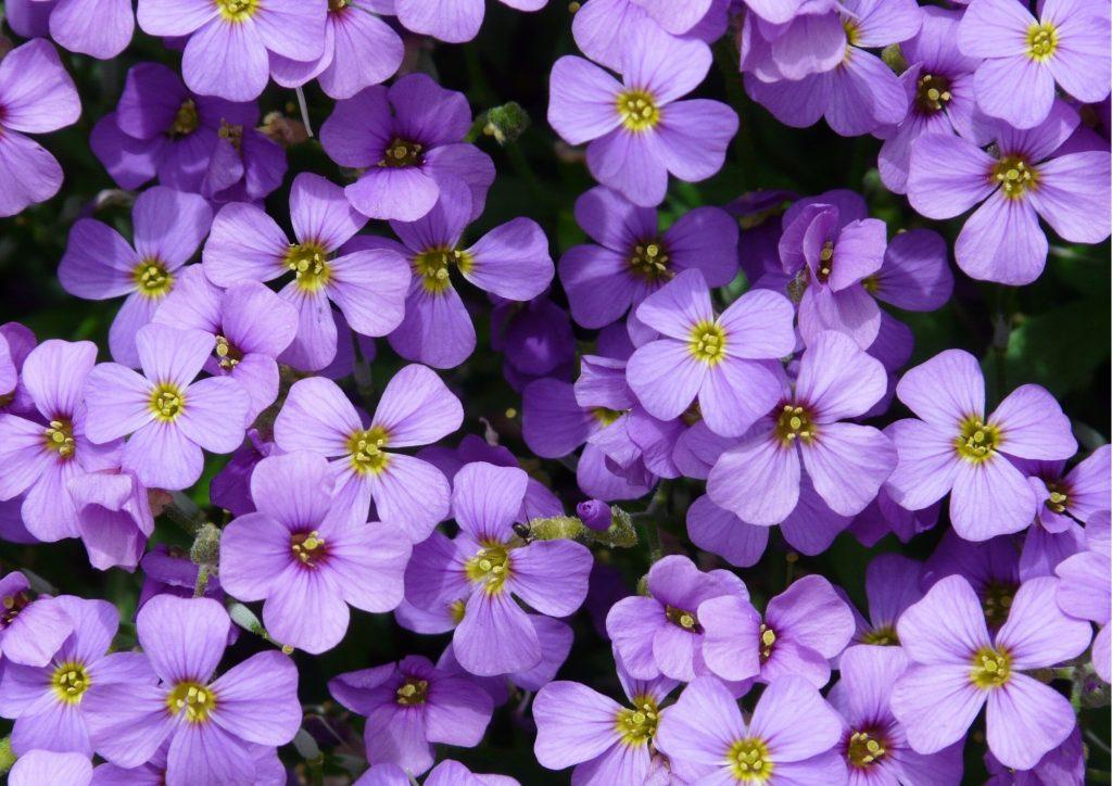 Cadeau pour tous, fleurs significations, Couleur violette