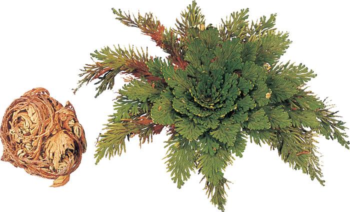 Une plante immortelle cadeau pour tous for Plante immortelle