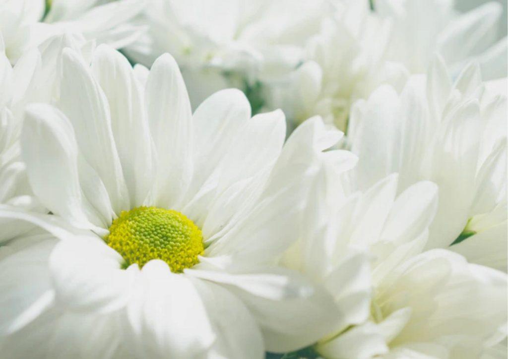 Cadeau pour tous, fleurs significations, Couleur blanche